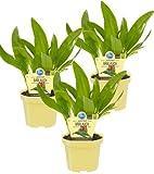 Bio Bärlauch, (Allium ursinum), Kräuter Pflanzen aus nachhaltigem Anbau (3 Pflanzen, je im 12cm Topf)